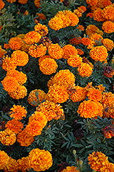 Taishan Orange Marigold (Tagetes erecta 'Taishan Orange') at Martin's Home and Garden