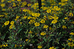 Sunvy Super Gold Creeping Zinnia (Sanvitalia procumbens 'Sunvy Super Gold') at Martin's Home & Garden