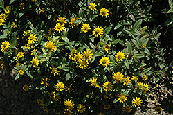 Solaris Compact Yellow Creeping Zinnia (Sanvitalia procumbens 'Solaris Compact Yellow') at Martin's Home & Garden