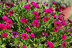 Cabaret® Rose Calibrachoa (Calibrachoa 'Cabaret Rose') at Martin's Home and Garden