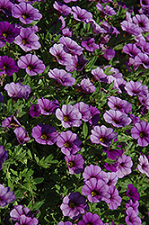 Cabaret® Dark Blue Calibrachoa (Calibrachoa 'Cabaret Dark Blue') at Martin's Home & Garden