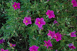 Lindura Pink Calibrachoa (Calibrachoa 'Lindura Pink') at Martin's Home and Garden
