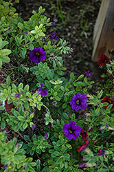 Lindura Purple Calibrachoa (Calibrachoa 'Lindura Purple') at Martin's Home and Garden