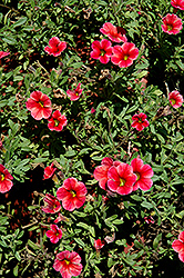 Caloha Pink Orange Star Calibrachoa (Calibrachoa 'Caloha Pink Orange Star') at Martin's Home and Garden