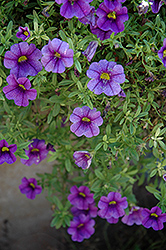 Aloha Purple Calibrachoa (Calibrachoa 'Aloha Purple') at Martin's Home and Garden