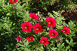 Aloha Kona Cherry Calibrachoa (Calibrachoa 'Aloha Kona Cherry') at Martin's Home and Garden