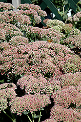 Autumn Fire Stonecrop (Sedum spectabile 'Autumn Fire') at Martin's Home & Garden
