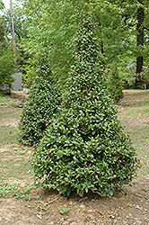 Castle Spire® Meserve Holly (Ilex x meserveae 'Hachfee') at Martin's Home & Garden