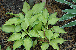 Cracker Crumbs Hosta (Hosta 'Cracker Crumbs') at Martin's Home and Garden