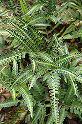Holly Fern (Arachniodes simplicior) at Martin's Home and Garden
