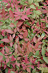 Flirt™ Nandina (Nandina domestica 'Murasaki') at Martin's Home and Garden