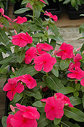 Mediterranean Deep Rose Vinca (Catharanthus roseus 'Mediterranean Deep Rose') at Martin's Home and Garden