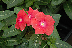 Mediterranean XP Red Vinca (Catharanthus roseus 'Mediterranean XP Red') at Martin's Home and Garden