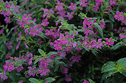 Allyson Mexican Heather (Cuphea hyssopifolia 'Allyson') at Martin's Home and Garden