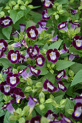 Clown Violet Torenia (Torenia 'Clown Violet') at Martin's Home & Garden