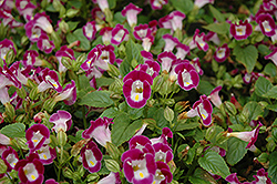 Clown Burgundy Torenia (Torenia 'Clown Burgundy') at Martin's Home and Garden