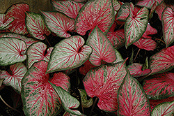 Carolyn Whorton Caladium (Caladium 'Carolyn Whorton') at Martin's Home and Garden
