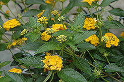 New Gold Lantana (Lantana 'New Gold') at Martin's Home & Garden