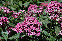 Butterfly™ Lavender Star Flower (Pentas lanceolata 'Butterfly Lavender') at Martin's Home and Garden