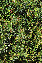 Dwarf Yaupon Holly (Ilex vomitoria 'Nana') at Martin's Home & Garden