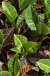 Variegated Croton (Codiaeum variegatum) at Martin's Home and Garden
