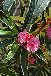 Twist Of Pink™ Oleander (Nerium oleander 'Planst') at Martin's Home & Garden