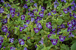 Wishbone Flower (Torenia fournieri) at Martin's Home & Garden