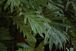 Xanadu Philodendron (Philodendron 'Winterbourn') at Martin's Home & Garden