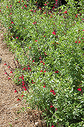 Furman's Red Texas Sage (Salvia greggii 'Furman's Red') at Martin's Home & Garden