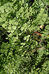 Southern Maidenhair Fern (Adiantum capillus-veneris) at Martin's Home and Garden