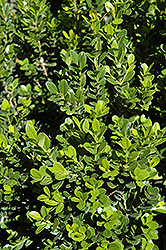 Baby Gem™ Boxwood (Buxus microphylla 'Gregem') at Martin's Home and Garden