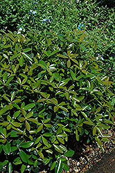 Bigfoot Cleyera (Ternstroemia gymnanthera 'Sotall') at Martin's Home & Garden