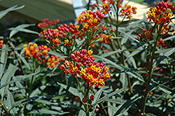 Silky Deep Red Milkweed (Asclepias curassavica 'Silky Deep Red') at Martin's Home & Garden