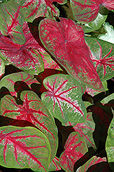 Scarlet Beauty Caladium (Caladium 'Scarlet Beauty') at Martin's Home and Garden