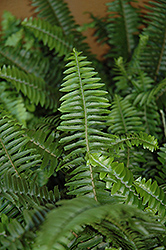 Australian Sword Fern (Nephrolepis obliterata) at Martin's Home and Garden