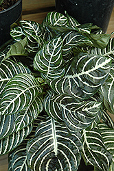 Zebra Plant (Aphelandra squarrosa) at Martin's Home and Garden