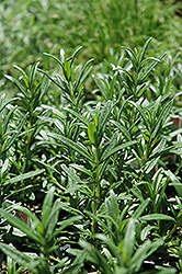 Spice Islands Rosemary (Rosmarinus officinalis 'Spice Islands') at Martin's Home & Garden