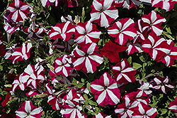 Easy Wave® Burgundy Star Petunia (Petunia 'Easy Wave Burgundy Star') at Martin's Home & Garden