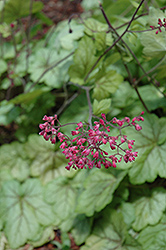 Circus Coral Bells (Heuchera 'Circus') at Martin's Home and Garden