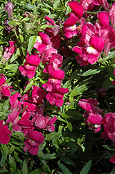 Trailing Snapshot Purple Snapdragon (Antirrhinum majus 'Trailing Snapshot Purple') at Martin's Home and Garden