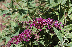 Buzz Purple Butterfly Bush (Buddleia 'Buzz Purple') at Martin's Home & Garden