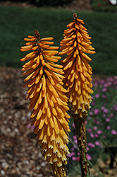 Echo Mango Torchlily (Kniphofia 'Echo Mango') at Martin's Home and Garden