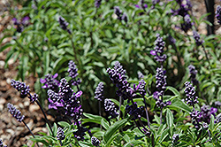 Cathedral™ Purple Salvia (Salvia farinacea 'Cathedral Purple') at Martin's Home and Garden
