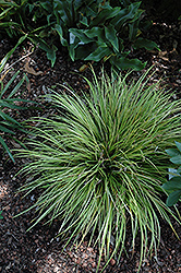 EverColor® Everillo Japanese Sedge (Carex oshimensis 'Everillo') at Martin's Home & Garden