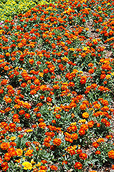 Durango Red Marigold (Tagetes patula 'Durango Red') at Martin's Home and Garden