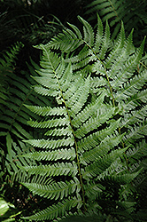 Dixie Wood Fern (Dryopteris x australis) at Martin's Home and Garden