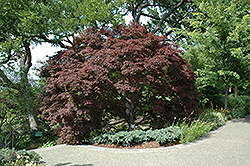 Burgundy Lace Japanese Maple (Acer palmatum 'Burgundy Lace') at Martin's Home and Garden