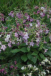 Perfume Purple Flowering Tobacco (Nicotiana 'Perfume Purple') at Martin's Home and Garden