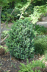 Julia Jane Boxwood (Buxus microphylla 'Julia Jane') at Martin's Home & Garden