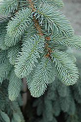 The Blues Colorado Blue Spruce (Picea pungens 'The Blues') at Martin's Home & Garden